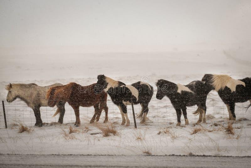 Cavallo peloso islandese tipico che pasce nella bufera di neve della neve fotografia stock
