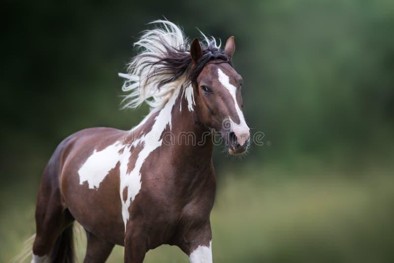 Cavallo pezzato nel moto immagine stock libera da diritti