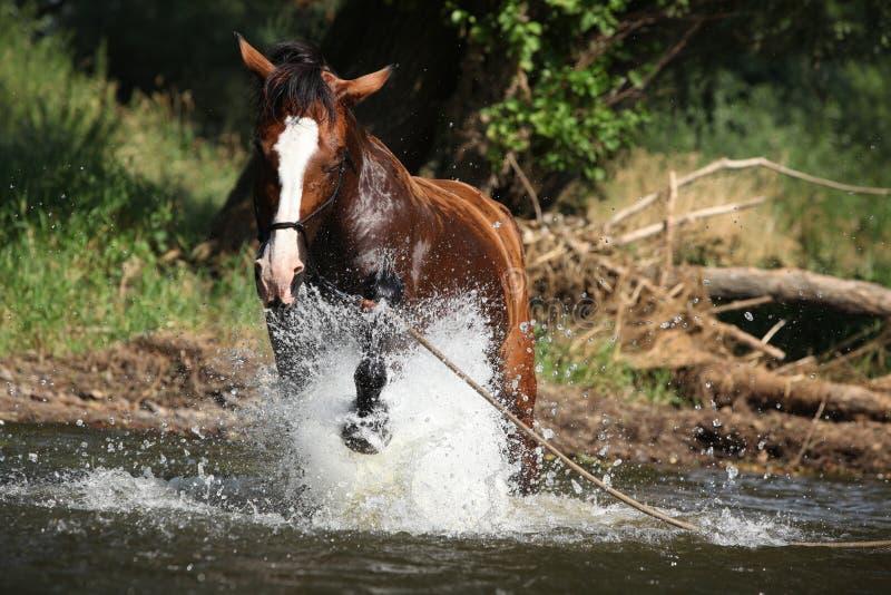 Cavallo piacevole con la capezza della corda che gioca nell'acqua fotografia stock libera da diritti