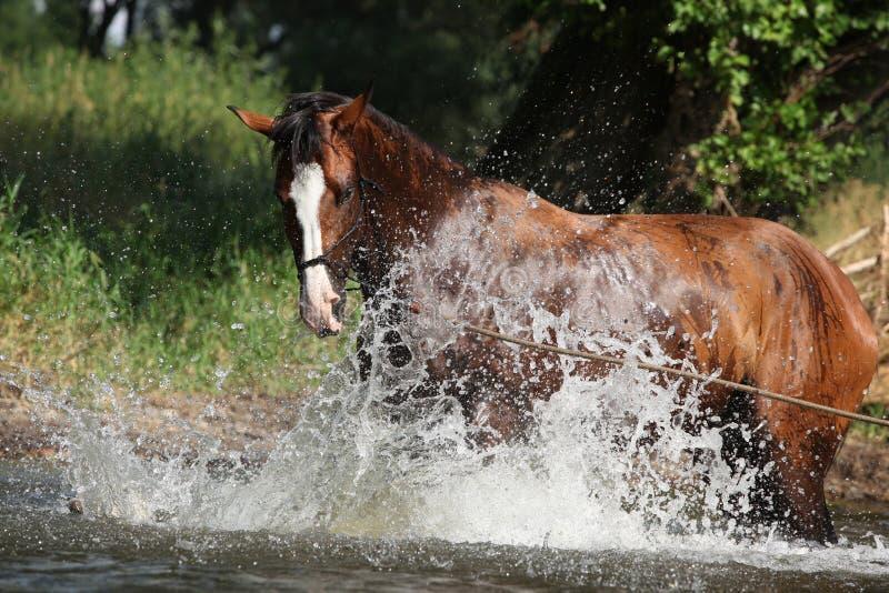 Cavallo piacevole con la capezza della corda che gioca nell'acqua fotografie stock