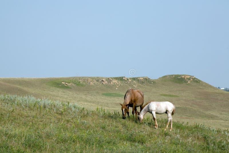 Cavallo quarto del Foal e della cavalla fotografia stock libera da diritti