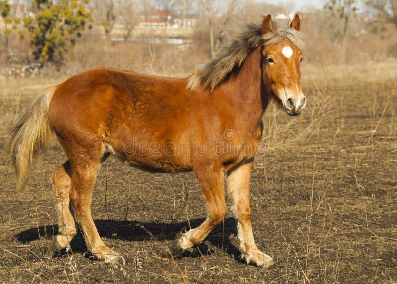 Cavallo rosso con una fiammata bianca immagine stock