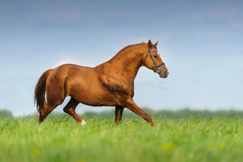 Cavallo rosso nel moto fotografia stock libera da diritti