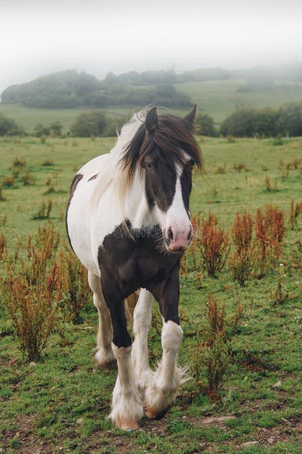 Cavallo scozzese fotografia stock libera da diritti