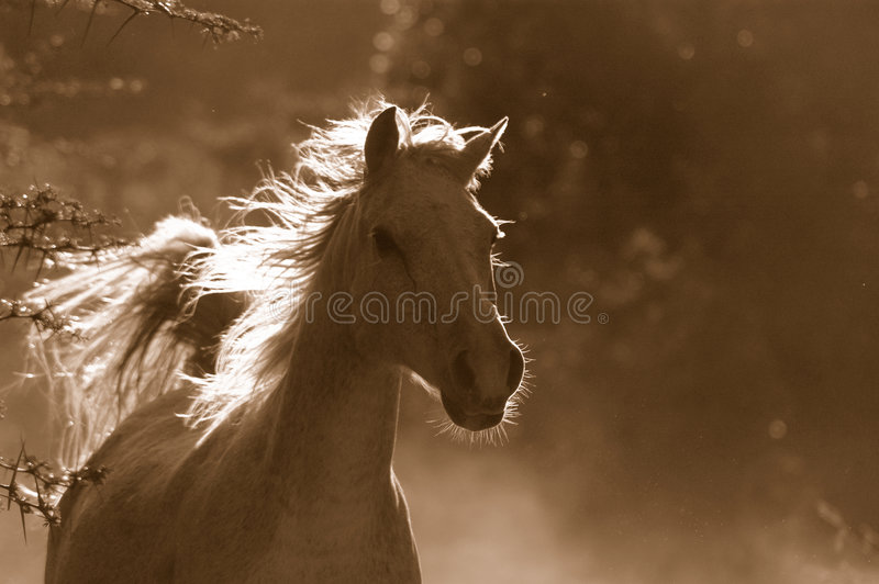 Cavallo selvaggio bianco immagini stock