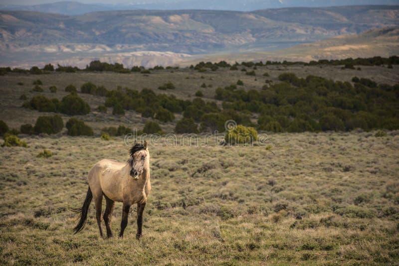 Cavallo selvaggio colorato acaro degli agrumi in bacino di Sandwash immagine stock