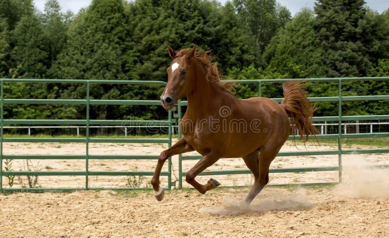 Cavallo selvaggio di Brown fotografia stock