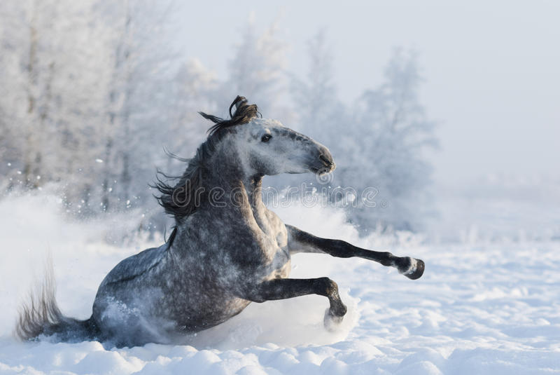 Cavallo spagnolo di razza grigio che fa scorrere sulla neve fotografia stock