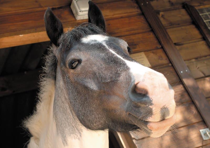 Cavallo stabile fotografie stock
