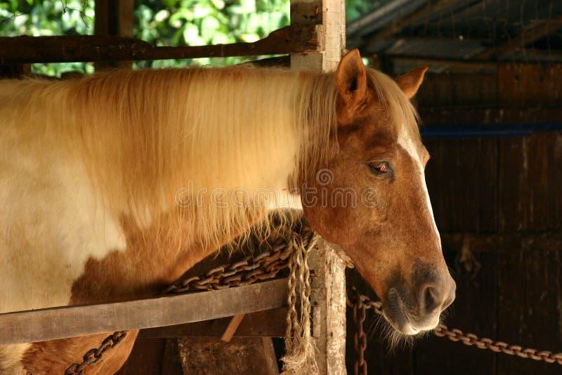 Cavallo stabile fotografia stock