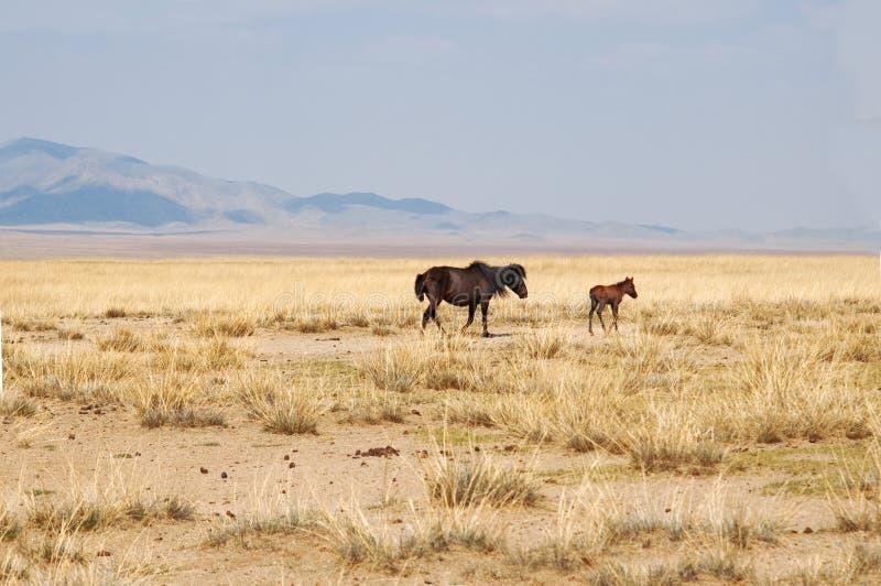 Cavallo in steppa fotografia stock libera da diritti