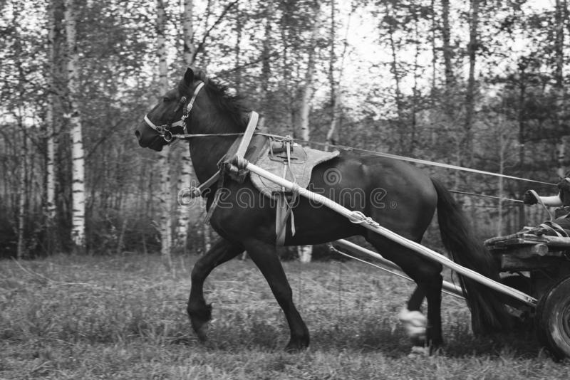 Cavallo su una passeggiata nel recinto chiuso Cavallo e natura fotografia stock libera da diritti