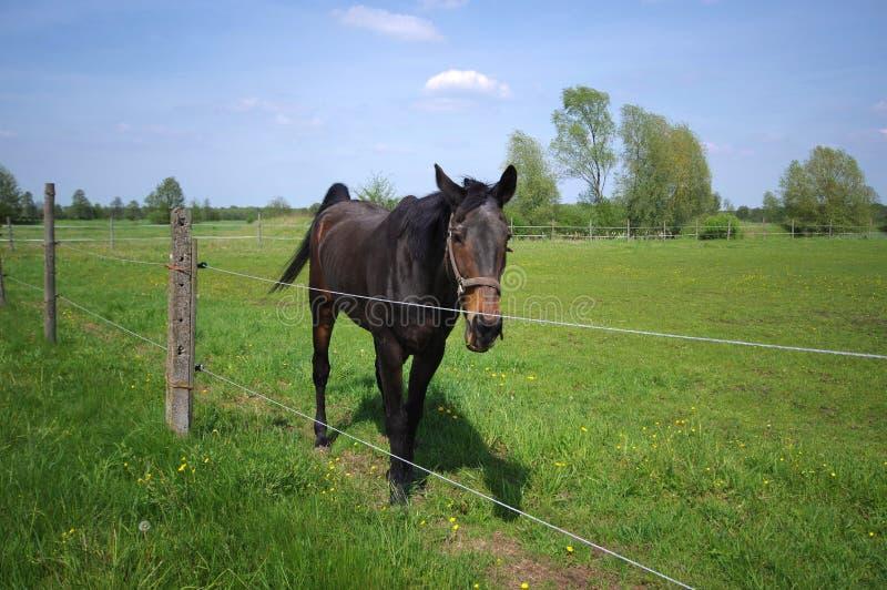 Cavallo sul pascolo verde dietro il recinto fotografia stock
