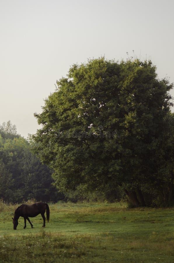 Cavallo sul prato inglese immagini stock