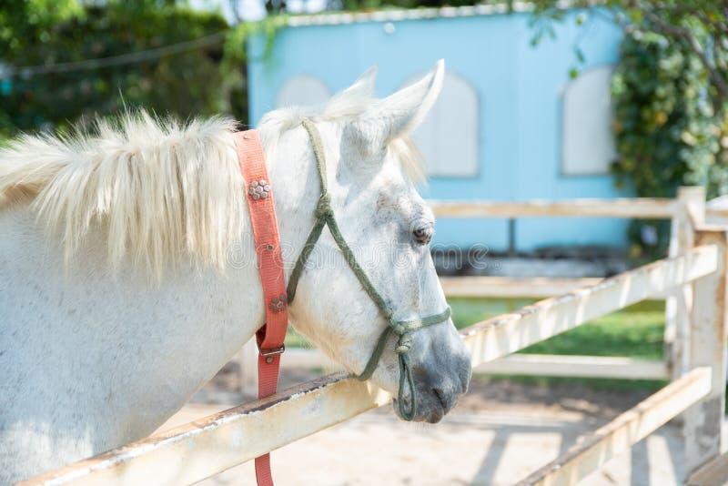 Cavallo sulla natura Ritratto di un cavallo, cavallo bianco fotografie stock libere da diritti