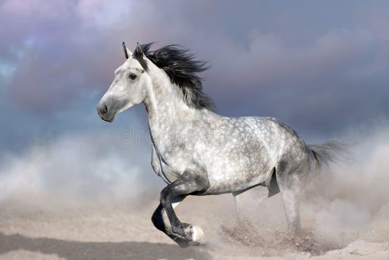 Cavallo sulla polvere del deserto immagini stock