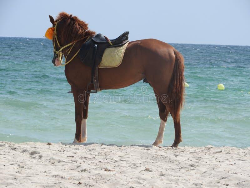 Cavallo sulla spiaggia in Tunisia, Africa un chiaro giorno contro il mare blu immagine stock