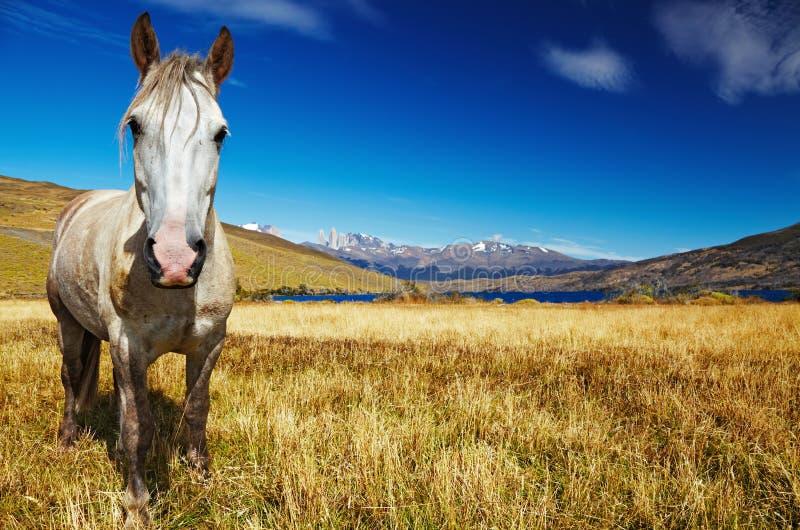 Cavallo in Torres del Paine, Cile fotografia stock