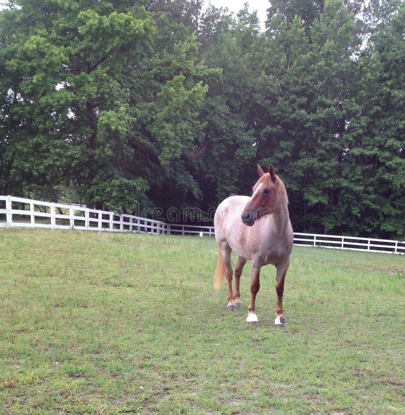 Cavallo in un campo fotografia stock