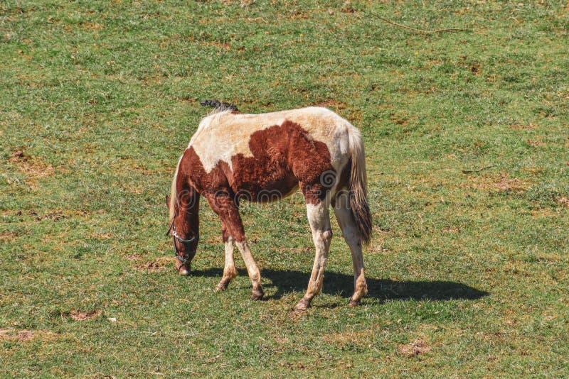 Cavallo in un campo che pasce fotografia stock