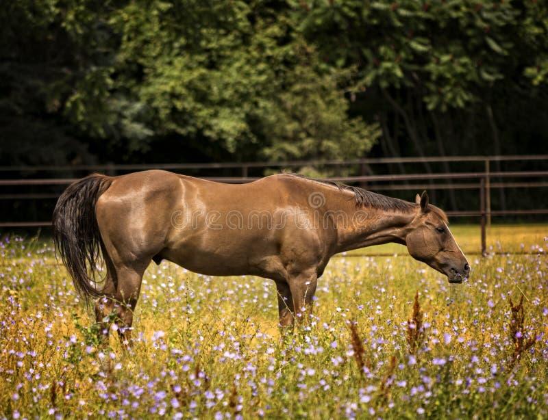 Cavallo in un pascolo fotografie stock libere da diritti