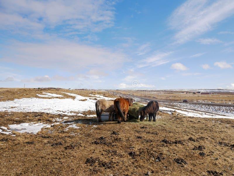 Cavallo vicino al grande Geysir immagini stock libere da diritti