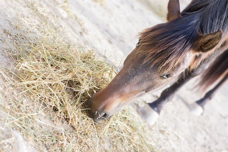 cavallo vicino del fieno di cibo di colore marrone in su immagine stock libera da diritti
