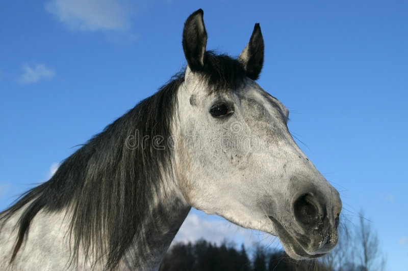 Cavalo árabe, árabe de Shagya imagens de stock royalty free