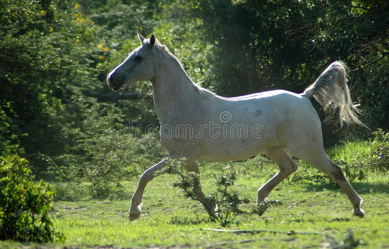 Cavalo árabe imagem de stock