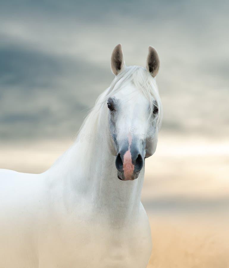 Cavalo árabe branco imagens de stock