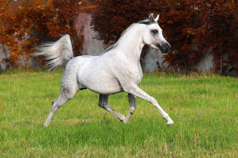 Cavalo árabe branco foto de stock royalty free