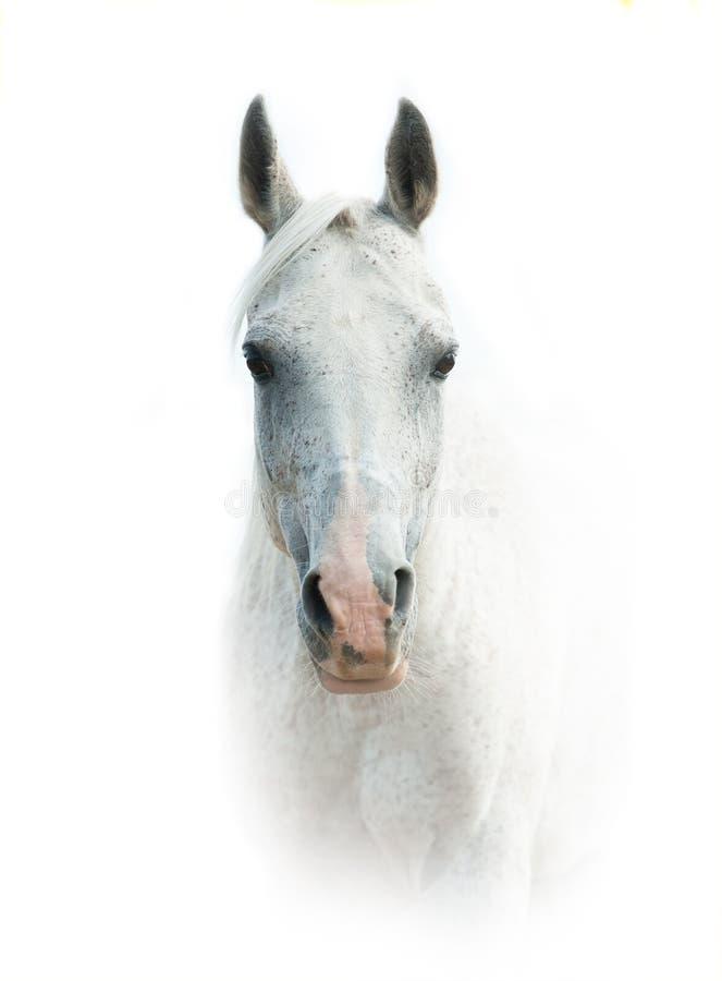 Cavalo árabe branco sobre um fundo branco imagens de stock