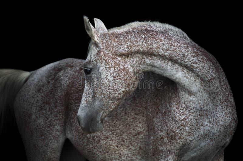 Cavalo árabe cinzento de Rosa no fundo escuro fotos de stock royalty free