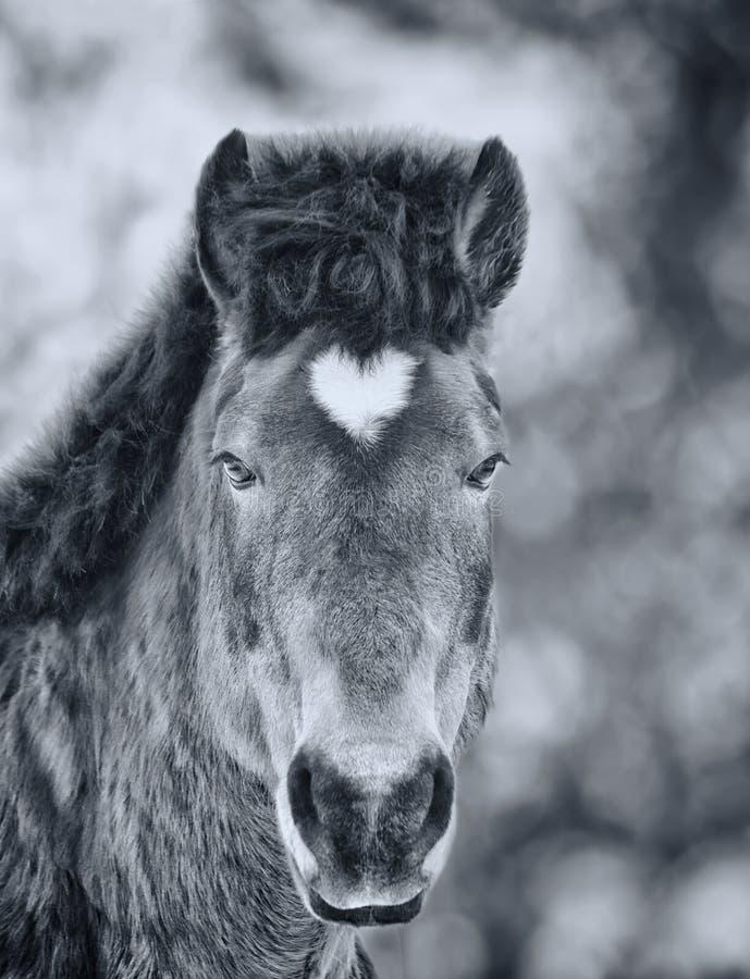 Cavalo árabe com a estrela dada forma coração Pequim, foto preto e branco de China foto de stock royalty free