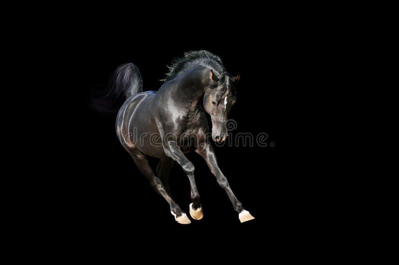Cavalo árabe da baía no preto imagens de stock royalty free