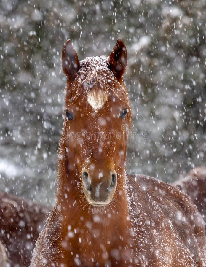Cavalo árabe da castanha na tempestade da neve fotografia de stock