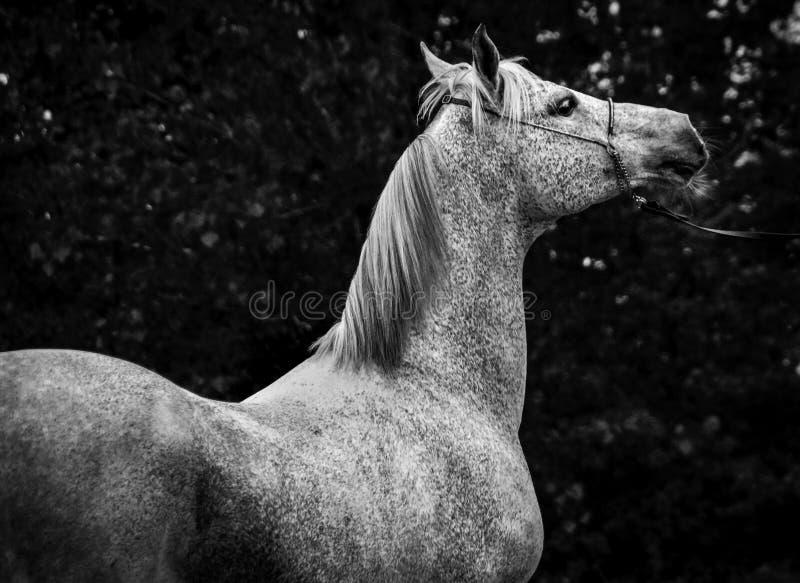 Cavalo árabe em preto e branco fotos de stock royalty free