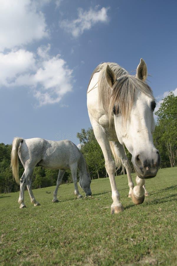 Cavalo árabe em um campo imagens de stock royalty free