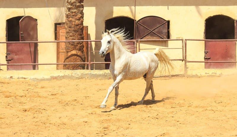 Cavalo árabe em um rancho arenoso fotos de stock royalty free