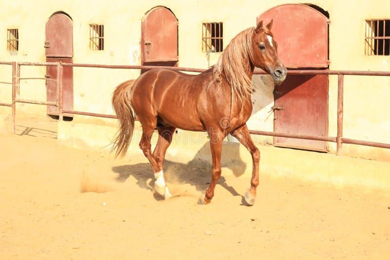 Cavalo árabe em um rancho arenoso foto de stock