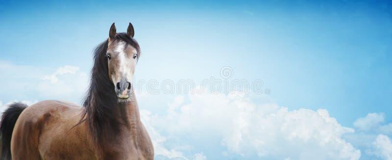 Cavalo árabe no fundo do céu, bandeira fotografia de stock