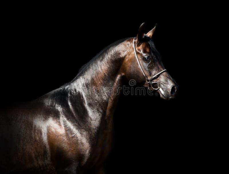 Cavalo árabe no fundo preto imagem de stock