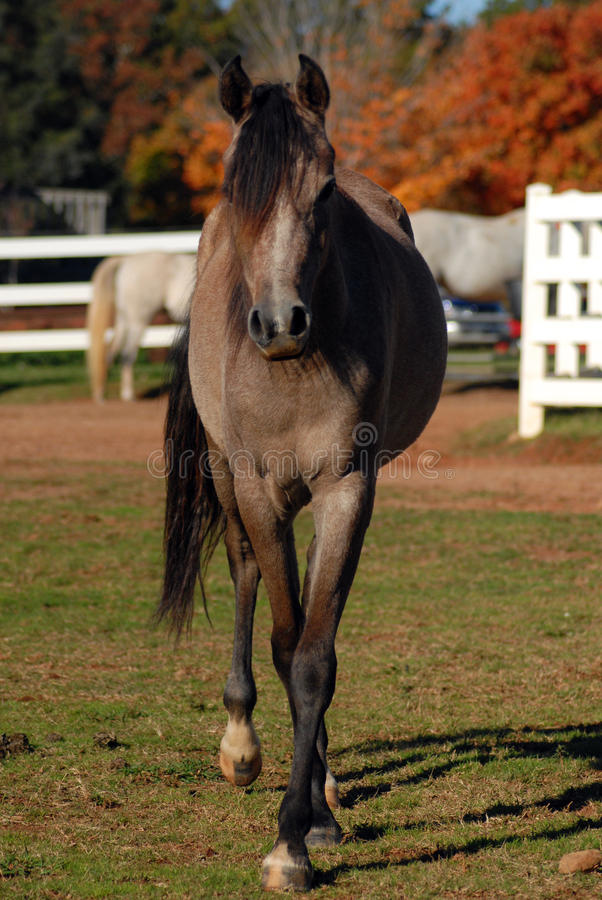 Cavalo árabe novo fotos de stock