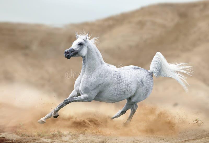 Cavalo árabe que corre no deserto imagens de stock royalty free