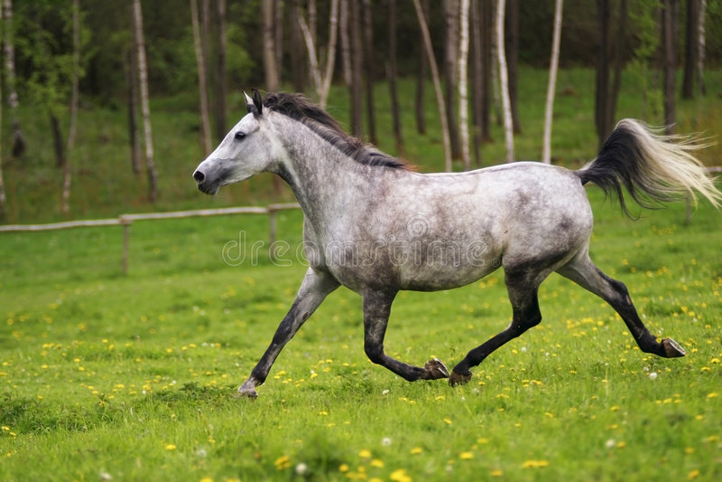 Cavalo árabe Running, árabe de Shagya imagem de stock