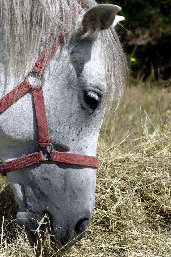 Download Cavalo foto de stock. Imagem de animal, detalhe, comer - 16870502
