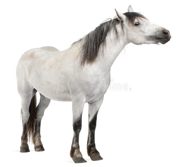 Cavalo, 2 anos velho, posição fotografia de stock