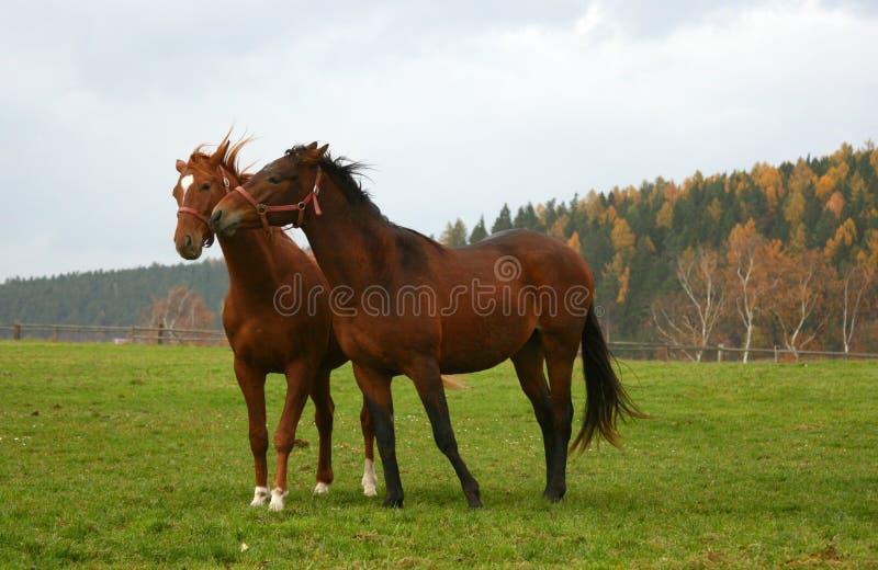 Cavalo 20 foto de stock