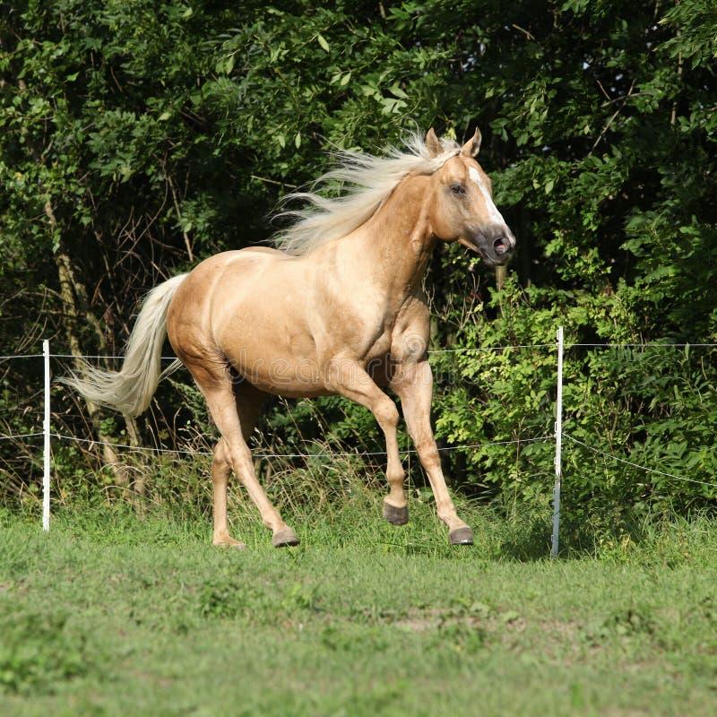 Cavalo agradável do palomino com corredor louro longo da juba imagens de stock
