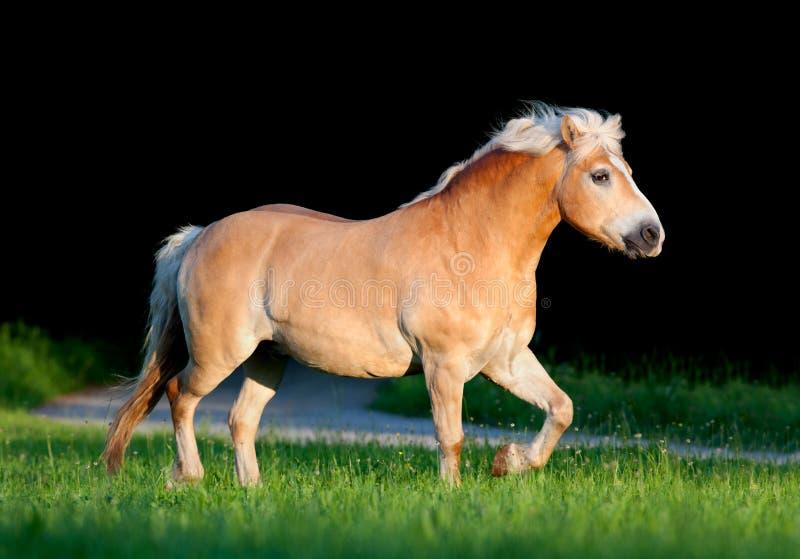 Cavalo amarelo que corre no verão foto de stock